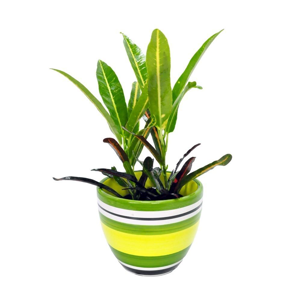 Lule Croton Mix v.10 37595 2