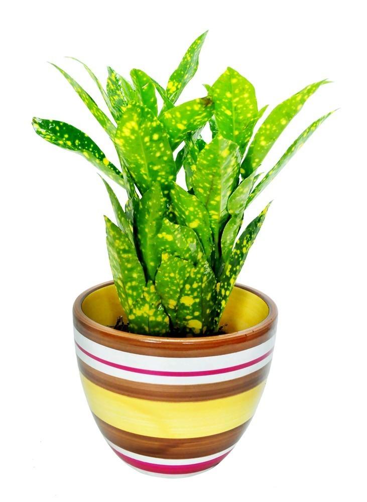 Lule Croton Mix v.10 37595 4