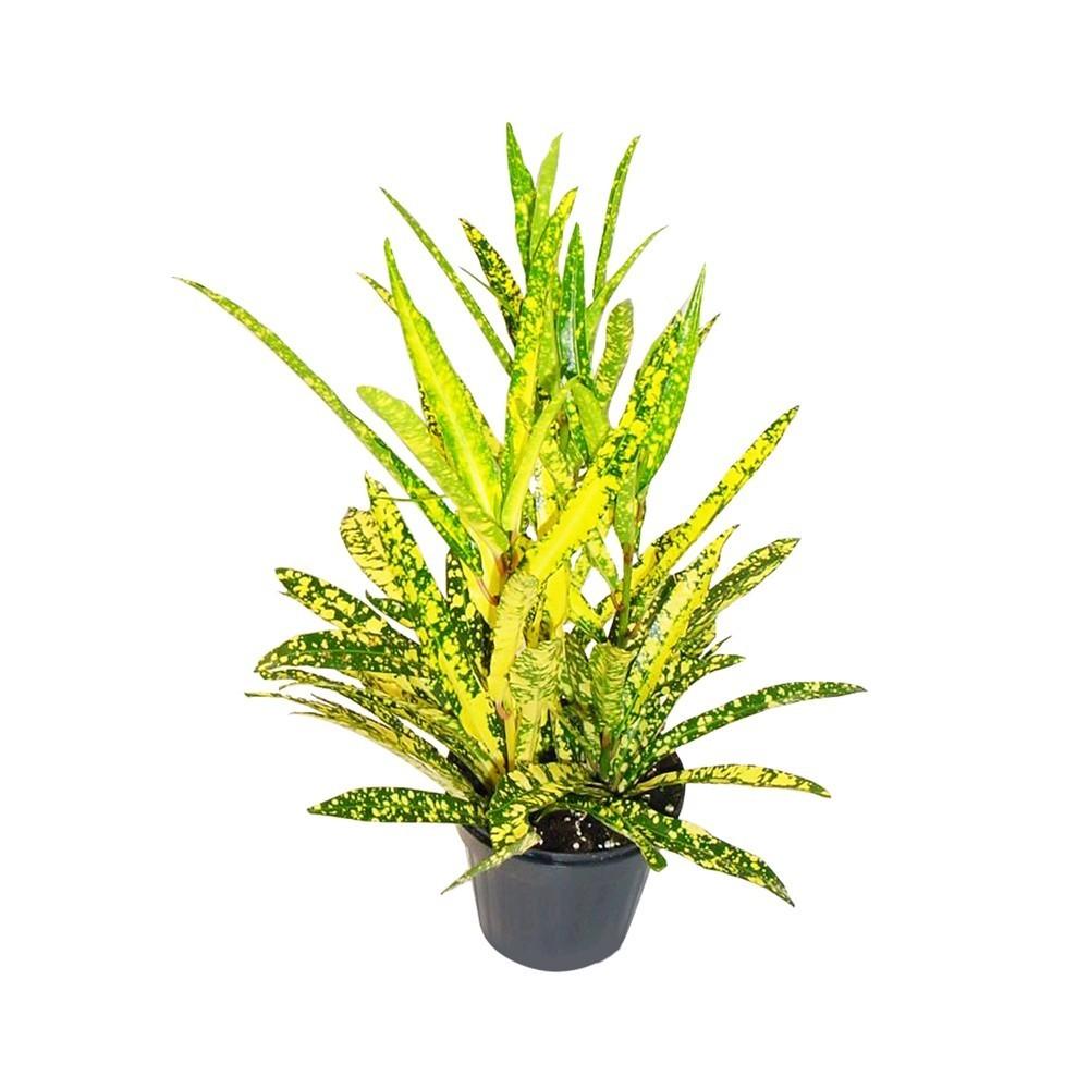 Lule Croton Mix v.10 37595 5